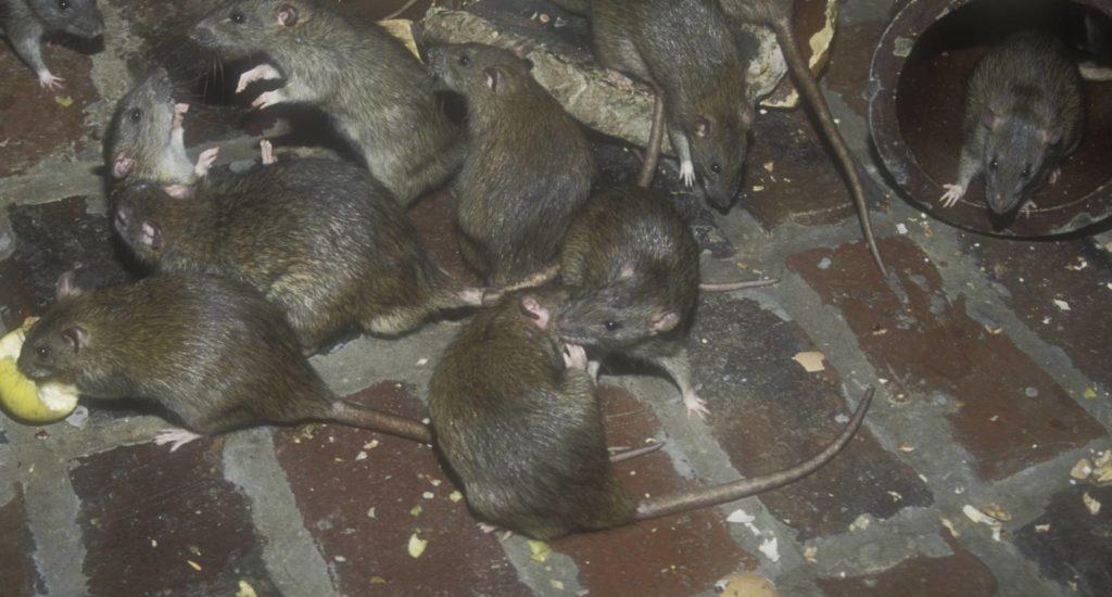 уничтожение крыс в Пушкино